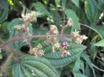 A planta com pixiricas